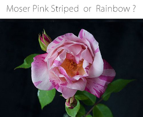 Moser-pink-striped-rose copy