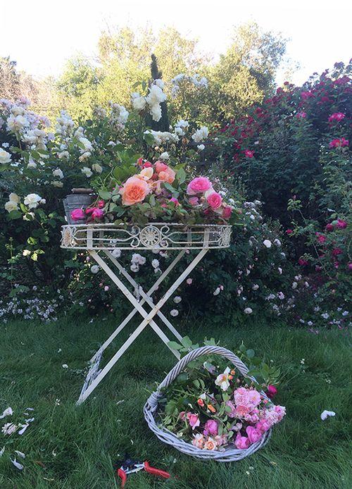 Rose harvest 3