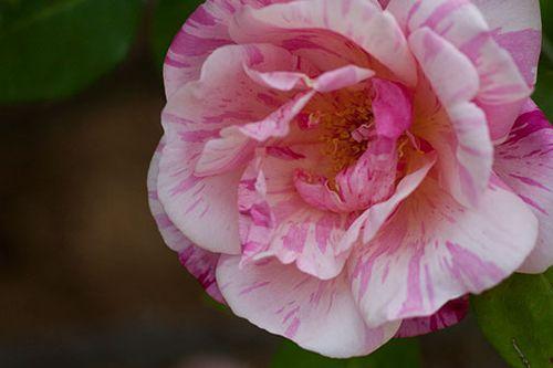 Rainbow-rose-4