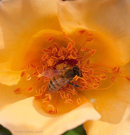 Bee-in-mrs-oakley-fisher-rose