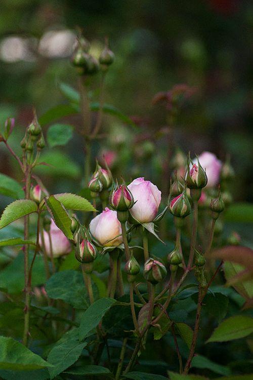 Rose-buds