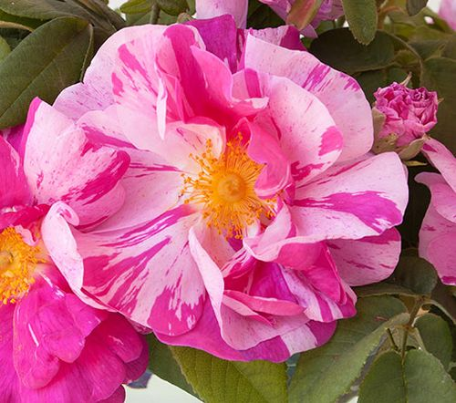 Rosa-mundi