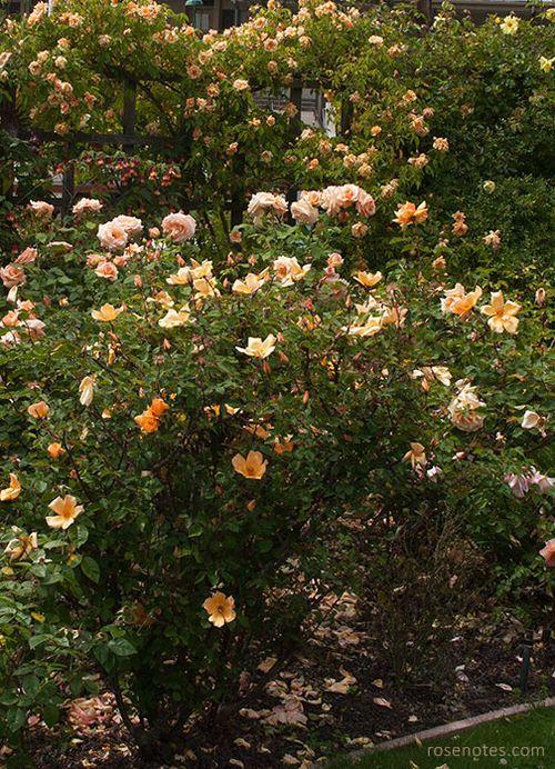 Mrs-oakley-fisher-rose-bush