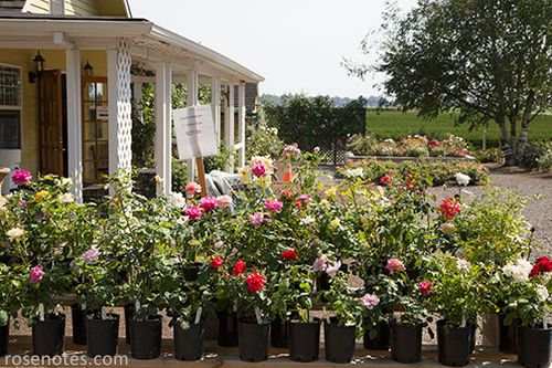 Gallon-roses-for-sale