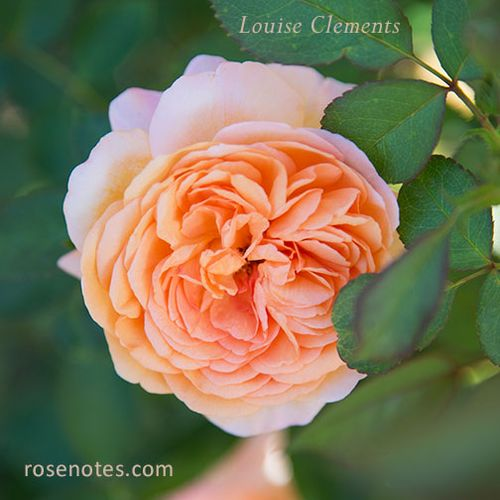 Louise-clements-rose
