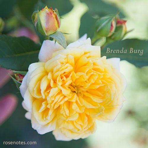 Brenda burg rose