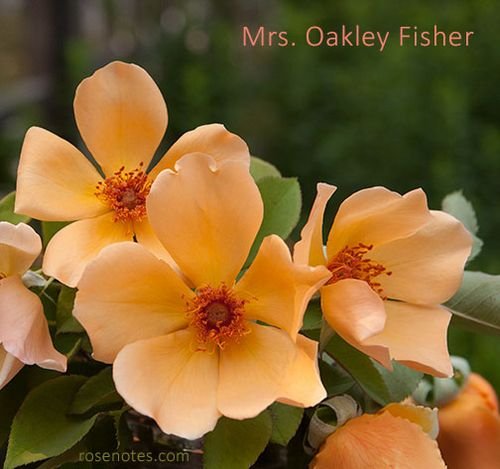 Mrs.-Oakley-Fisher-Rosa