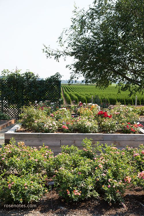 Heirloom-roses-gardens