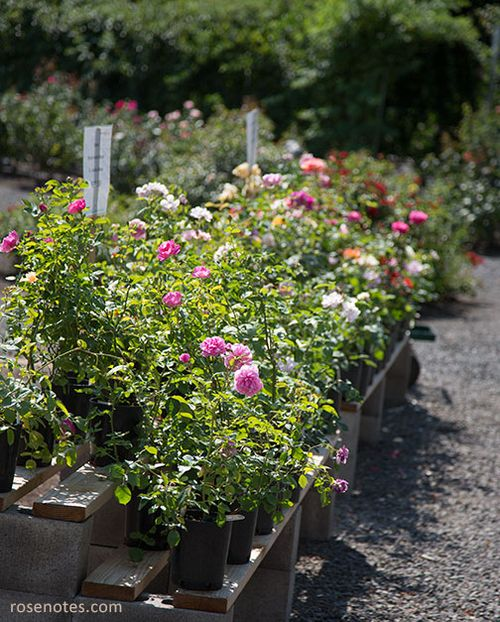 Heirloom-roses-for-sale