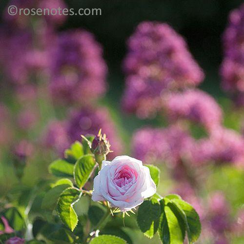 San-jaun-bautista-roses-3