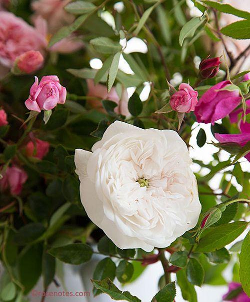 Madame-hardy-rose