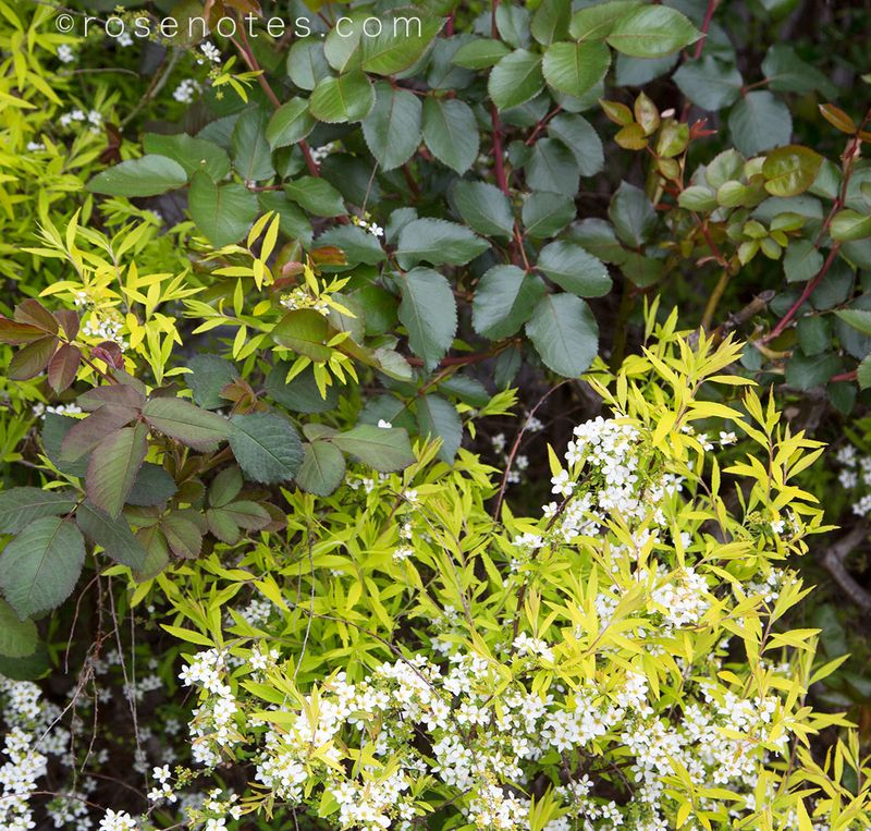 Spirea-&-rose-leaves