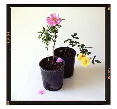 Own-Root-Potted-Roses