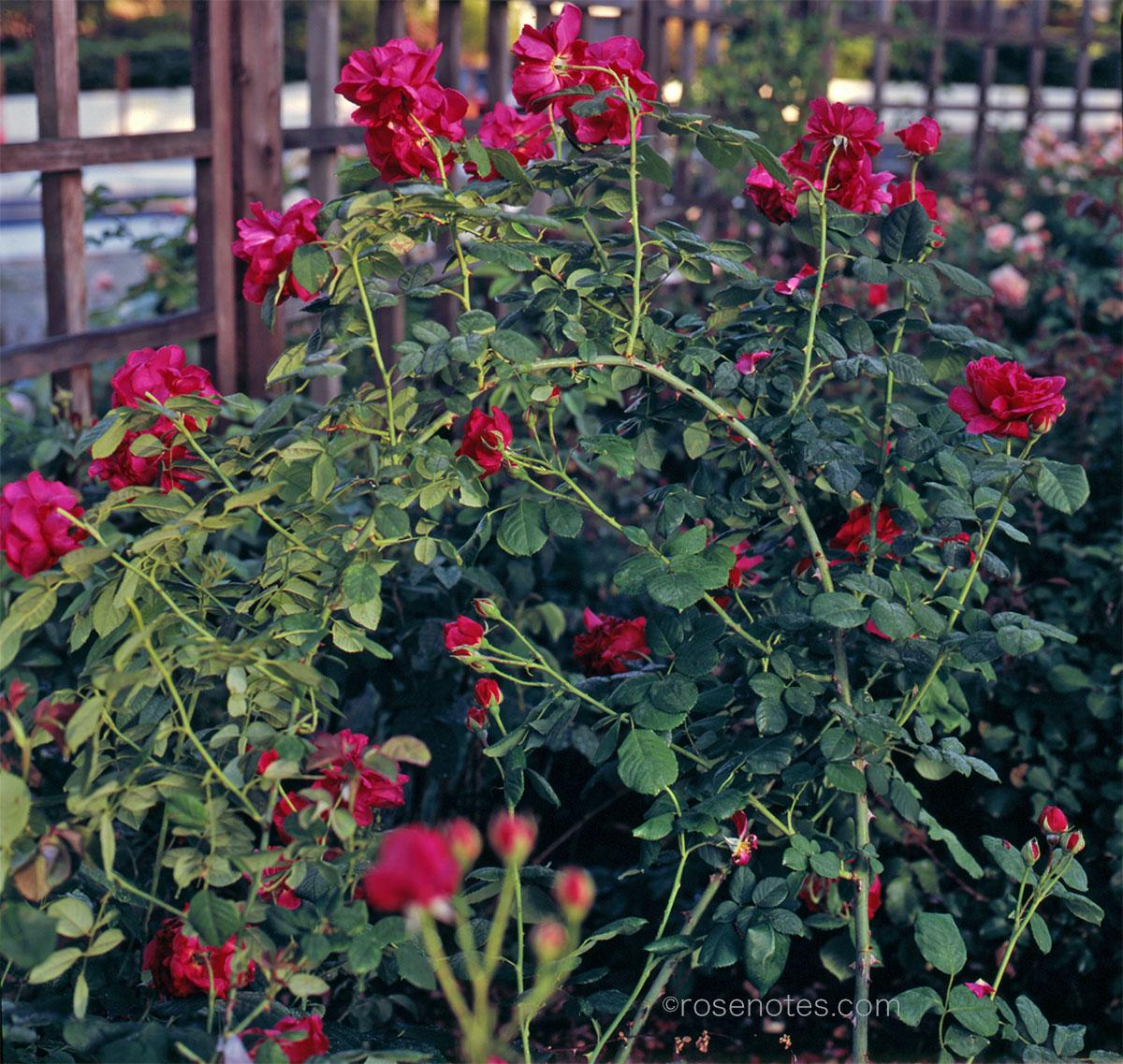 Sativa rose pegging