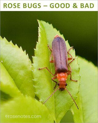Rose-bugs