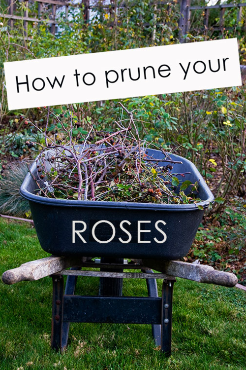 How-to-prune-roses