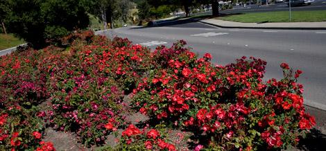 Dr-huey-suckering-many-roses