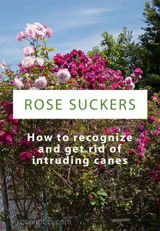 Rose-suckering