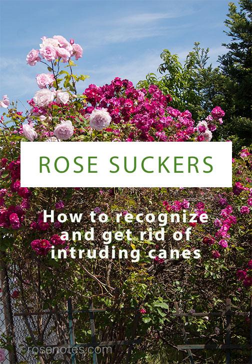 Surprising Dr Huey A Rose Sucker Rose Notes Door Handles Collection Olytizonderlifede