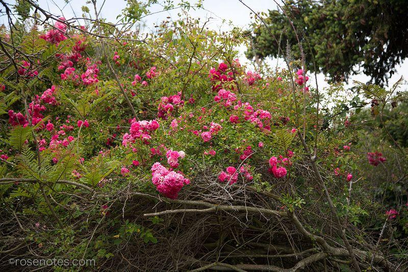 Dorothy-perkins-rose