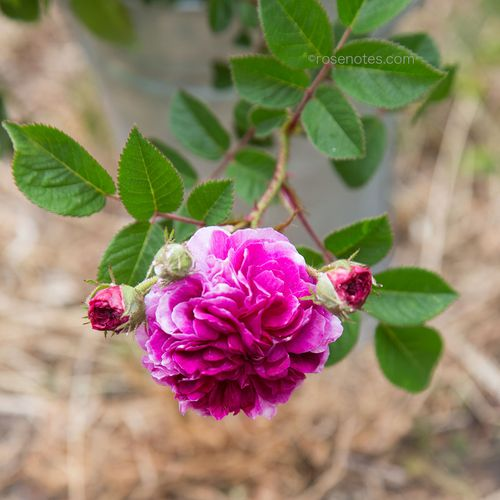 Heritage-rose-at-Miriam-Wilkins'