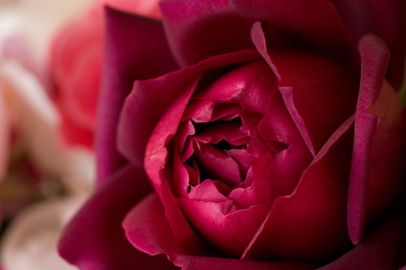 Red_rose_close_uup