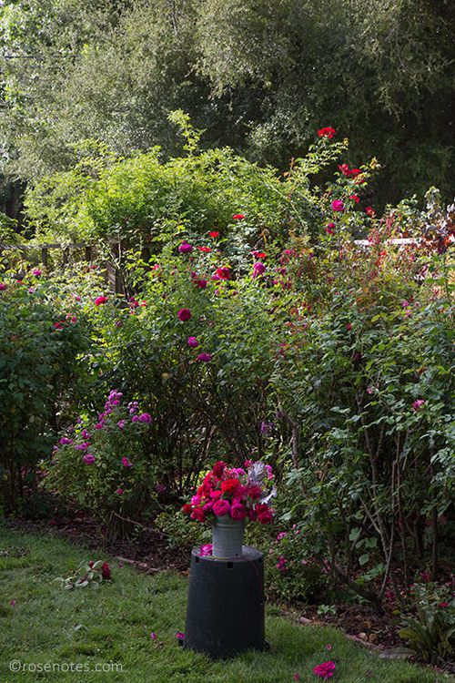 Red-austin-roses