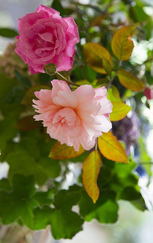 Pink-gruss-an-achen-&-hermosa-roses