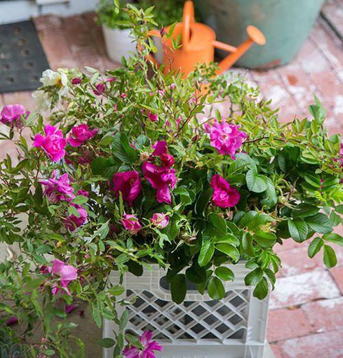 Celebration-of-old-roses
