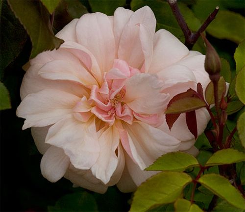 Perle-d'or-rose-bloom