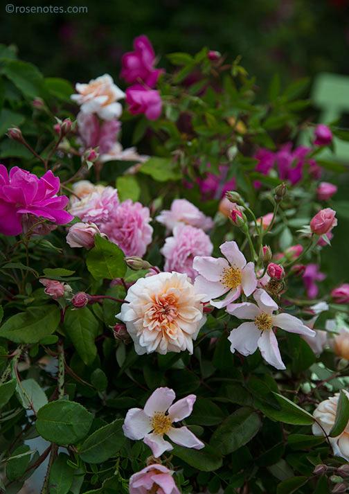 Roses-outside