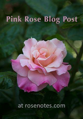 Pink-Rose-Blog-Post