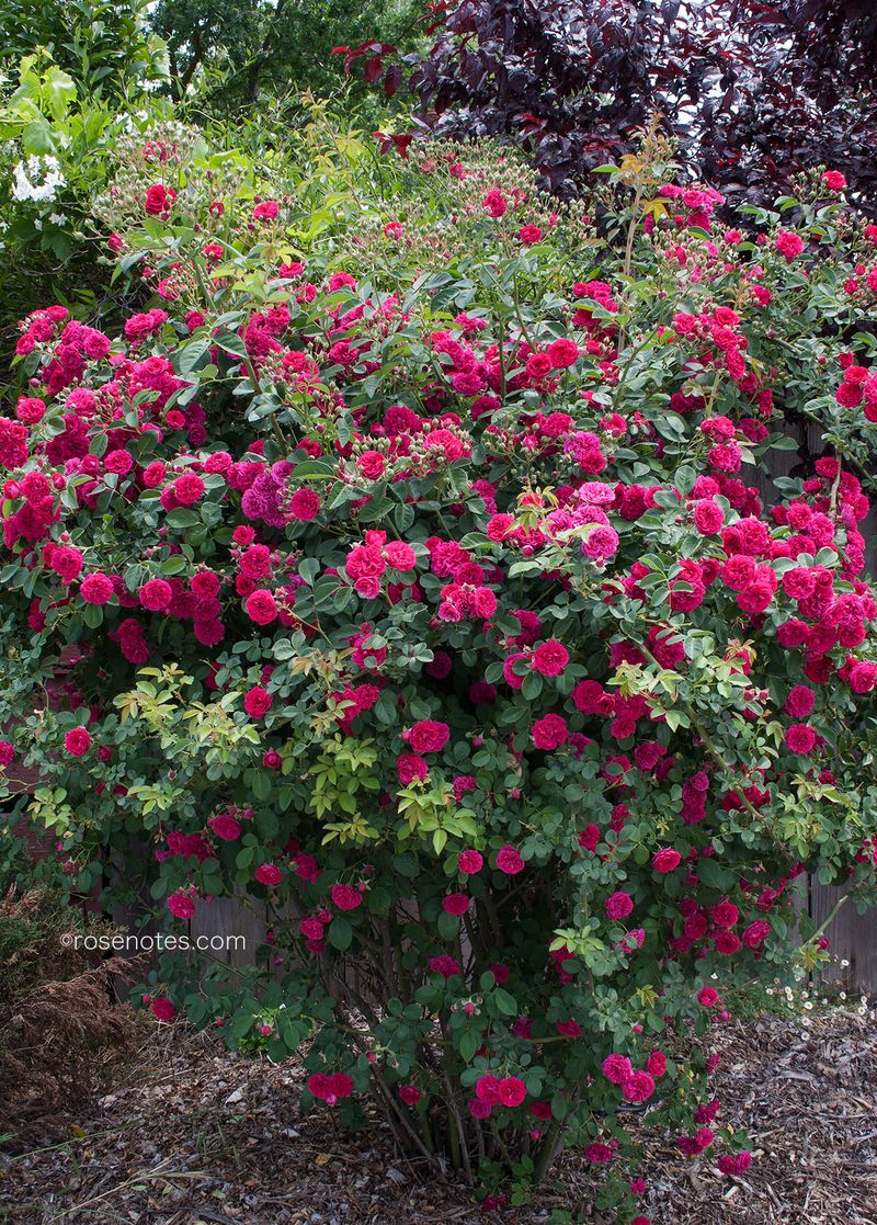 Pegging-rose-bushes