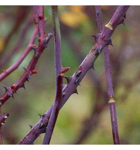 Crossing-rose-stems
