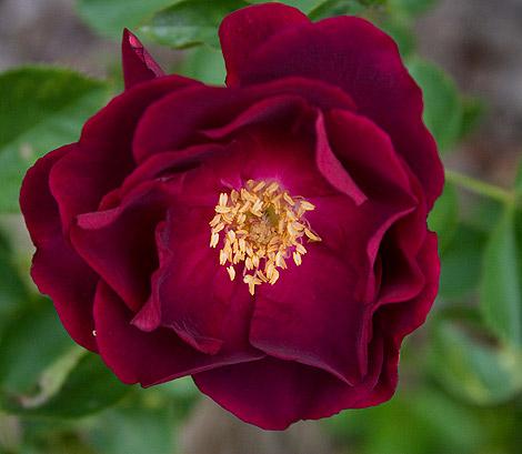 Dr-huey-rose-close-up