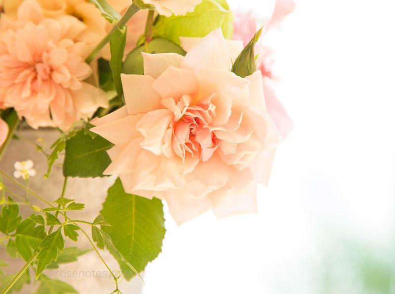 Lady-roberts-tea-rose
