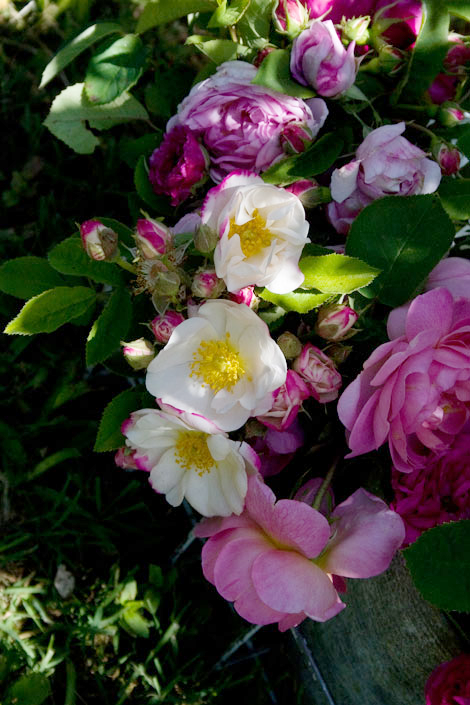 Hebe's-lip-rose