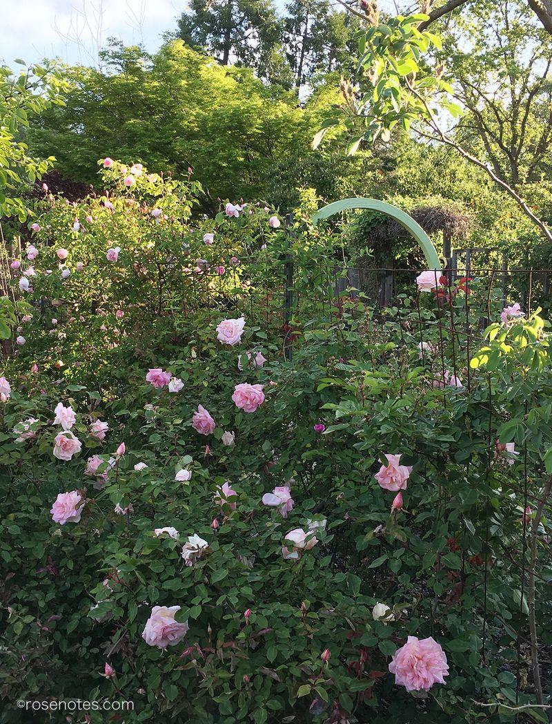 Gilbert-Nabonnand-Rose
