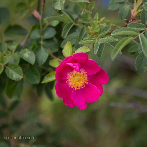 Species-rose-3