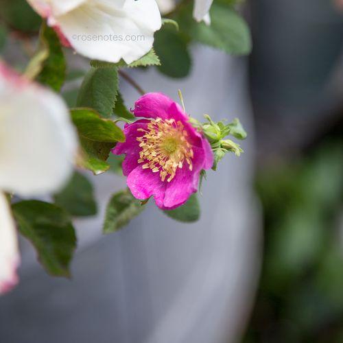 5-petal-rose