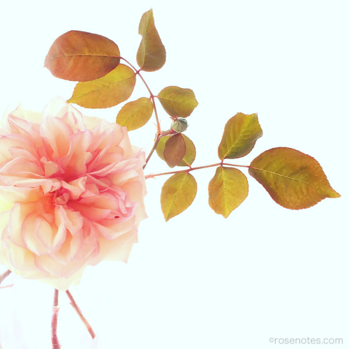 Iphone_rose_photo