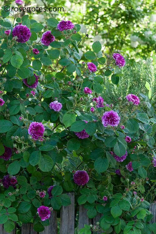 San-jaun-bautista-roses-2