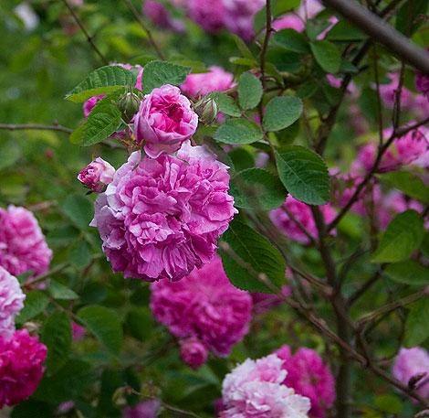 Rose-at-Miriam's