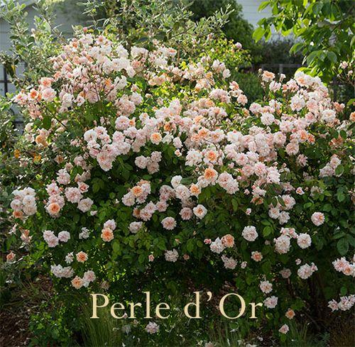 Perle-d'or-rose-shrub copy