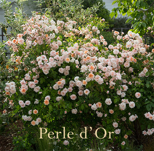 Perle-d'or-rose-shrub copy