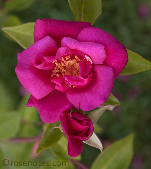 M-antoine-rebe-rose