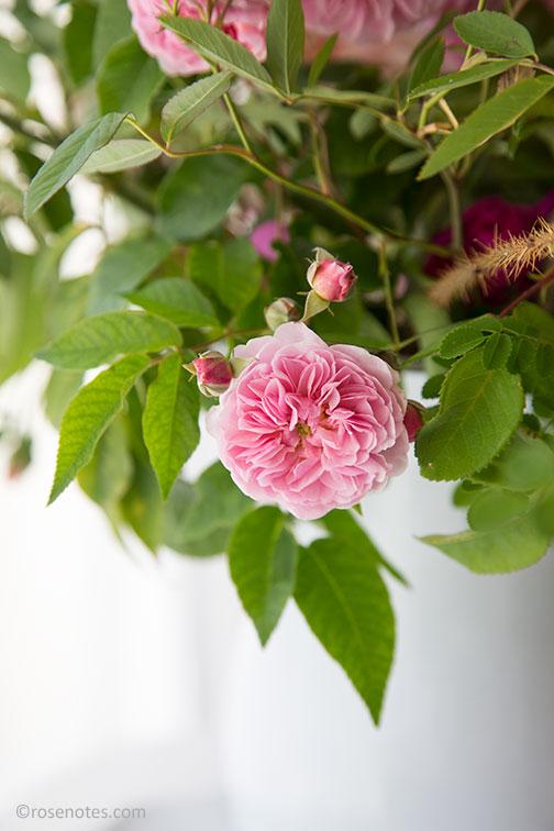 Carolyn-parker-rose