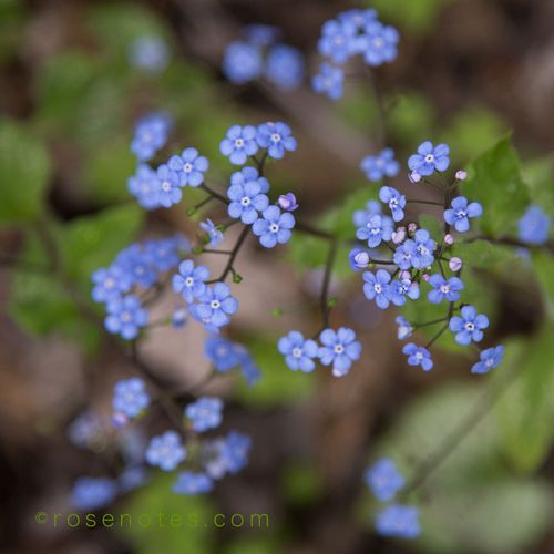 Brunnera-flowers