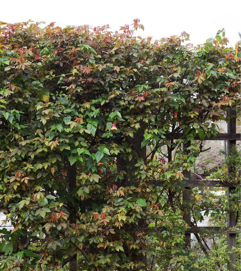Rose-leaves-on-trellis