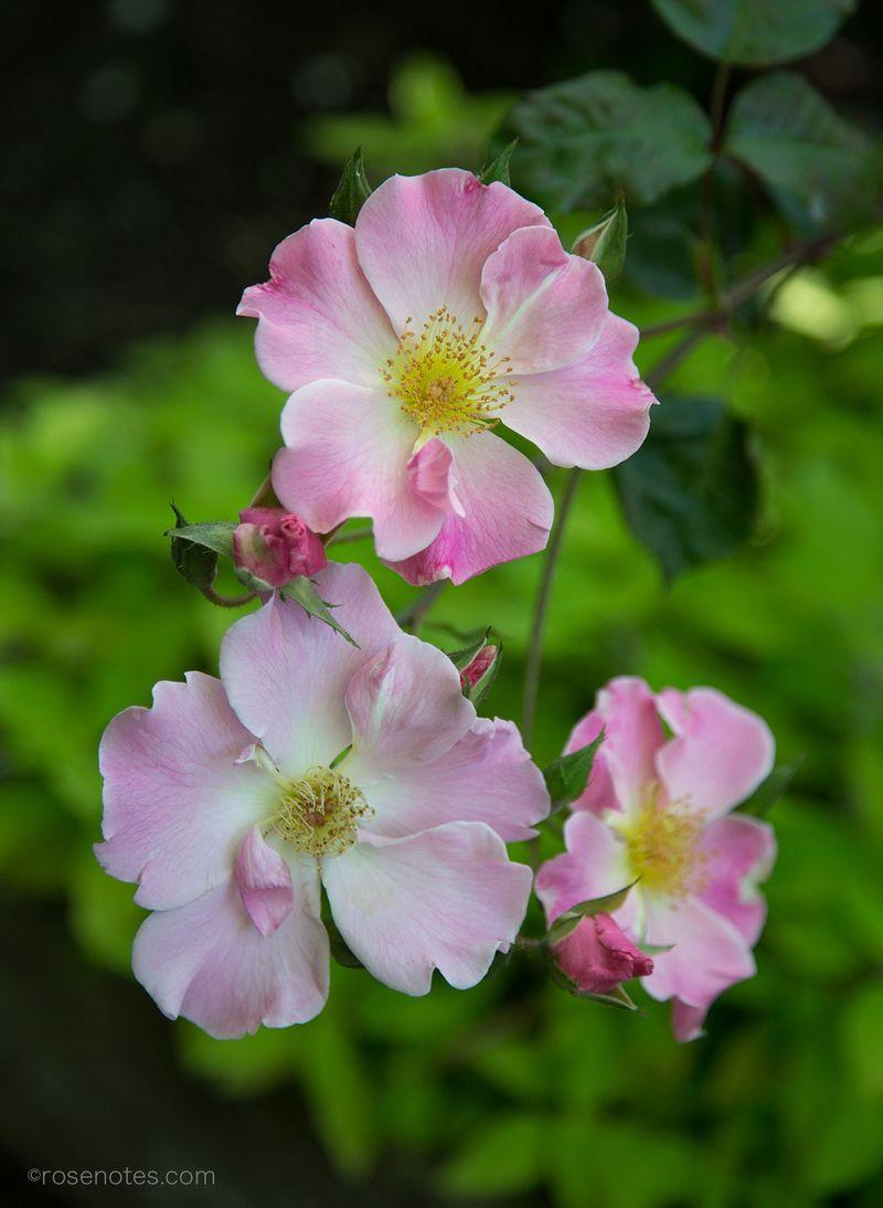 Sparrieshoop-rose